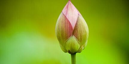 buton-lotosa_1