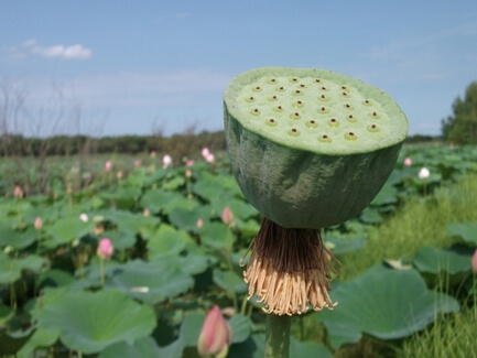 semennaja-korobochka-lotosa_1